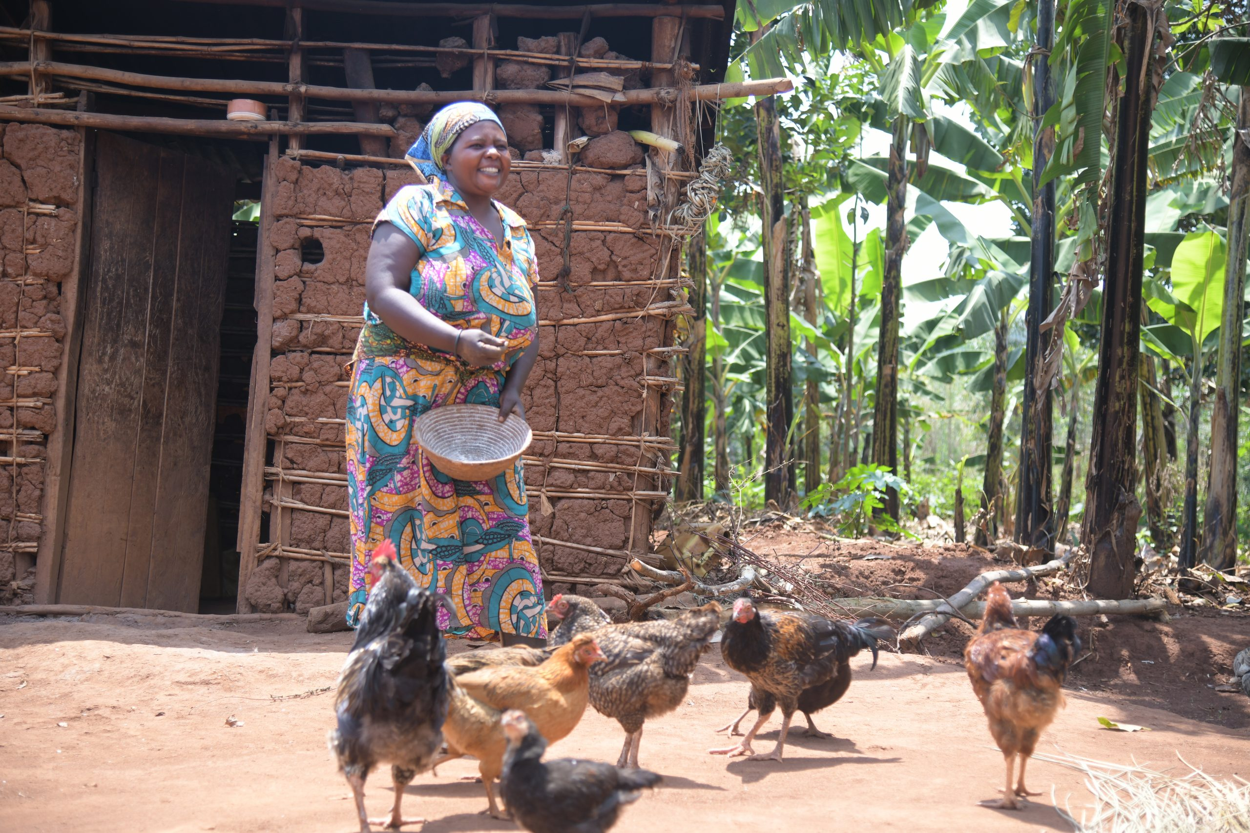 Graduating to Resilience's participant feeds her chickens at home in Biguli, Kamwenge District. Poultry is one her businesses